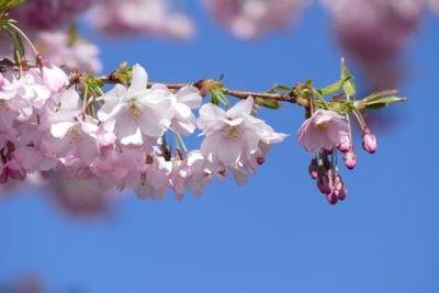 Zauberhafte Kirschblüten