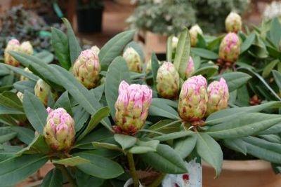 Rhododendron -für Gefäß und Sonne!