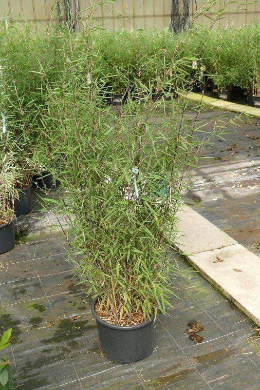 Fargesia nitida 'Black Pearl', Bambus