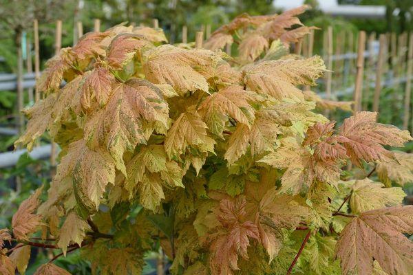 Acer pseudoplatanus 'Hermitage'  -R-, Berg-Ahorn